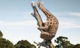 De ce are girafa gâtul lung ?